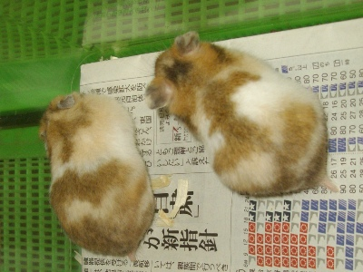 20100603 tricolorhamster